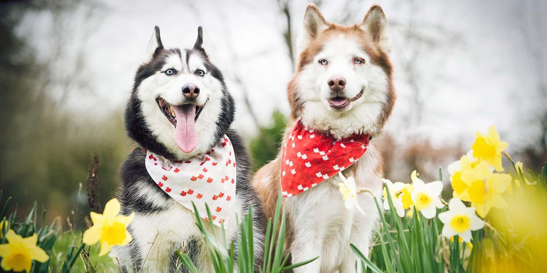 Two adorable Siberian Husky